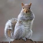 http://easterngraysquirrel.deviantart.com/